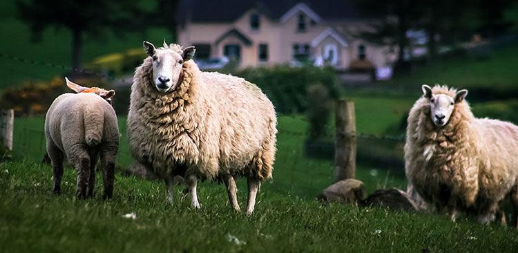 Tierwohl Irish Lammfleisch