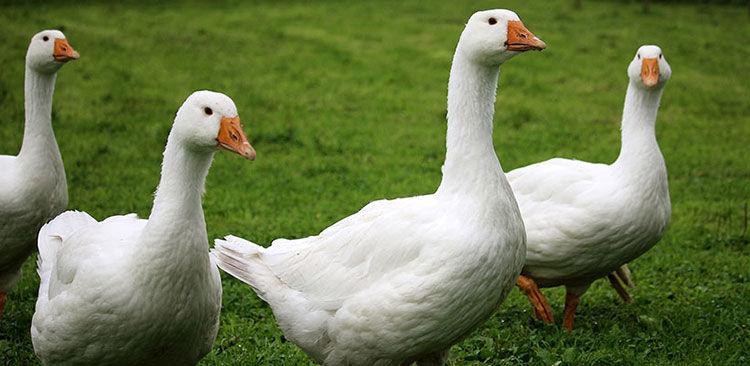 Tierwohl Enten und Gänse